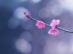 Polka dots background (Tomo M) Tags: japaneseplum flower nature bokeh winter ume 梅