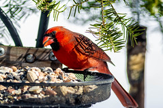 Eatin' some seeds, catching some rays... (114berg) Tags: 18february19 male northern cardinals basket feeder sunny day geneseo illinois
