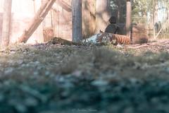 DSC_0074 (Aurmorea) Tags: zoo thoiry lion tiger sunset goldenhours
