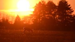 Chevreuil (Guillaume Dardant) Tags: nature sauvage animaux mammifères libre loiret d810 nikon 500mmf4 chevreuil brocard cervidés roedeer capreoluscapreolus affût