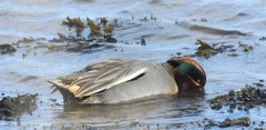 male teal (BSCG (Badenoch and Strathspey Conservation Group)) Tags: morayfirth moray bird sunshine march duck t male drake swimming