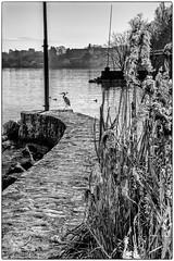 en attente des pêcheurs (Pyc Assaut) Tags: waiting for fishermen waitingforthefishermen en attente des pêcheurs enattentedespêcheurs souslecielduléman léman leman lacdegeneve lacleman lacléman lacustre lake versoix nikonz6 nikon z6 noirblanc blackwhite ponton jetée débarcadère héron héroncendré oiseau pyc5pyc pyc5pycphotography pycassaut pierreyvescugni pierreyvescugniphotography extérieur wild animus animal port choiseul portchoiseul