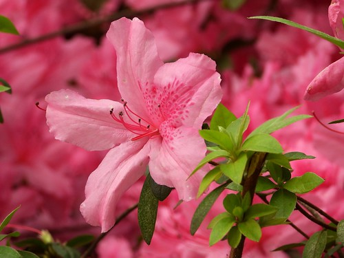 6599ex   Azaleas in bloom