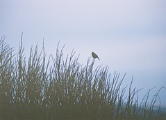 Birdy, Fortrose, March 2016 (Mano Green) Tags: bird sky bush tree twig clouds silhouette birdy fortrose black isle scotland uk winter 2016 35mm film kodak gold 200 70300mm lens canon eos 300