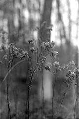 (salparadise666) Tags: nils volkmer medium format analogue vintage film camera kw patent etui rollex back bw black white monochrome vertical folding lower saxony woods forest germany