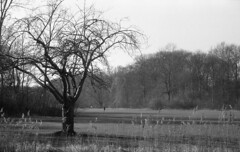 Old lonely (Arne Kuilman) Tags: amsterdam nikon fm3a 28mm luckyshd iso100 id11 7minutes homedeveloped stock analogue film amsterdamsebos tree boom