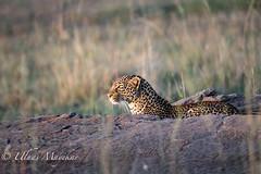 Leopard stalking Impala (mayekarulhas) Tags: narok riftvalleyprovince kenya ke leopard stalking wildlife wild canon canon500mm canon1dxmark2 carnivores cats safari masaimara