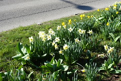 Daffodil @ Annecy (*_*) Tags: march hiver winter 2019 europe france hautesavoie 74 savoie annecy