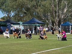 Cohuna dog show (4) (Boobook48) Tags: australia dogshow cohuna victoria