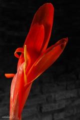 PILAR untitled IMG_0296 2019_03_18-Edit (catoledo) Tags: 2019 pilar anco butternutsquash calabaza flower macro yellow buenosairesprovince argentina ar