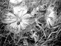 Wildflowers .... (Mr. Happy Face - Peace :)) Tags: flower floral nature wilderness cans2s art2019 black white bw macromondays hmm