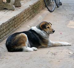 2019-02-12_08-40-21_ILCE-6500_DSC04180_DxO (miguel.discart) Tags: 2019 202mm animal animalphotography animals animalsupclose animaux chiangmai chiangrai chien createdbydxo dog dogs dxo e18135mmf3556oss editedphoto focallength202mm focallengthin35mmformat202mm holiday ilce6500 iso800 nature naturephotography pet sony sonyilce6500 sonyilce6500e18135mmf3556oss thailand thailande travel vacances voyage
