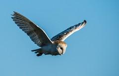 Barn Owl (toothandclaw1) Tags: owl barn raptor bird prey countryside early morning