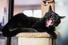 Just yawning (donnicky) Tags: animal cat closeup domesticanimal home lying nopeople oneanimal openmouth pet publicsec teeth tongue yawning марсель