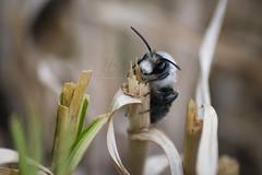 Andrena cineraria   Graue Sandbiene   Ashy Mining Bee (BMelzer Fotografie) Tags: wildbiene sandbiene insekt bee insects macro nature natur insekten nahaufnahme canon canoneos750d andrena