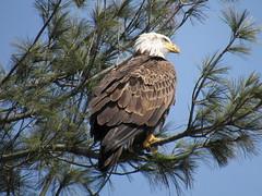Bald Eagle In Turners (amyboemig) Tags: bald eagle baldeagle bird turnersfalls turners falls ma winter march pine tree