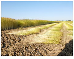 Farming (michelle@c) Tags: landscape agricultural agriculture industry farming field rural flax harvest hautenormandie documentary 2019 ©michellecourteau