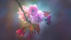 Spring bloom (Dhina A) Tags: sony a7rii ilce7rm2 a7r2 a7r malik triolam 100mm f29 france anastigmat 29 maliktriolamfranceanastigmat100mmf29 slide projection projector lens french manualfocus spring bloom flower bokeh cherry