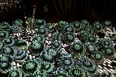 Electric Desert (joeksuey) Tags: electricdesert desertbotanicalgarden lights color klipcollective phoenix arizona joeksuey display cactisynesthesia cacti saguaros goldenbarrel infinity crystal rocks agave