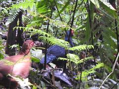 Salvadori's pheasants (benyeuda) Tags: sumatra bird birdwatching birding kerinci gunung mtkerinci mountkerinci gunungkerinci kerinciseblat rainforest lophurainornata pheasant sumatranpheasant endemic rare rarebird