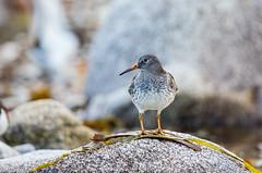 bécasseau violet (jfeussa) Tags: bretagne finistere ouessant bird bécasseauviolet maritime mer naturel ocean oiseau