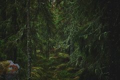 Old (Klas-Herman Lundgren) Tags: dalarna sweden gimmen autumn höst forest trees skog october green grön pine granskog granar mossa moss sifferbo se