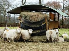 Frühstück bei Tiffany (antje whv) Tags: schafe sheep mahlzeit frühstück tiere animals