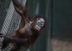Baby Sumatran Orangutan (norm.edwards) Tags: orangutan chester chesterzoon apes native sumatra borneo