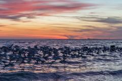 Sanderlings in Flight (Mike Batson) Tags: wallart mikebatson coastal sunset birds artsy abstract art wildlife copyrightmikebatson