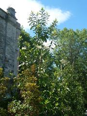 20130529_Bantry-IE_DrimysWinteri_Cutler_P1480054 (wlcutler) Tags: winteraceae drimys drimyswinteri