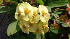 Euphorbia Milii (setiawanap) Tags: setiawanap setiawanapvlog indonesia tanaman tumbuhan daun bunga buah batang plants tree leaf flower fruit euphorbia