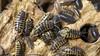Porcellio ornatus (Awavi) Tags: isopod armadillidium porcellio pillbug woodlice ダンゴムシ ワラジムシ