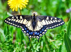 Anise Swallowtail (Laurie Paulik) Tags: aniseswallowtails butterflies colorado swallowtails