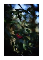 2019/1/26 - 4/15 photo by shin ikegami. - SONY ILCE‑7M2 / Voigtlander NOKTON CLASSIC 40mm f1.4 SC VM (shin ikegami) Tags: asia sony ilce7m2 sonyilce7m2 s7ii 40mm voigtlander nokton nokton40mmf14sc tokyo photo photographer 単焦点 iso800 ndfilter light shadow 自然 nature 玉ボケ bokeh depthoffield naturephotography art photography japan earth