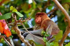 Proboscis monkey, Bako National Park (_JLC_) Tags: bako bakonationalpark borneo kuching sarawak malasia malaysia asia sudesteasiático naturaleza nature fantasticnature fauna wildlife monkey proboscismonkey proboscis nasalislarvatus primate mono mononarigudo canon canon6d eos 6d 70200f4is 70200