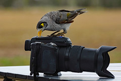 Noisy miner at work . Oh, damn technology!! (Uhlenhorst) Tags: 2009 australia australien animals tiere birds vögel travel reisen