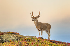 Mule Deer (overthemoon3) Tags: deer muledeer wildlife nature