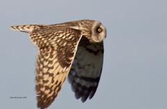 Short-eared Owl (Alan McCluskie) Tags: asioflammeus shortearedowl owl owlinflight owls birdofprey bop birdinflight bif wings feathers canon7dmk2 sigma150600mmsp