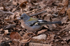 Fringilla coelebs ssp. africanus (North African Chaffinch) male - Fringillidae - Setti Fatma, Ourika Valley, Atlas Mountains, Morocco-2 (Nature21290) Tags: atlasmountains aves chaffinch february2019 fringilla fringillacoelebs fringillacoelebssspafricanus fringillidae morocco northafricanchaffinch ourika settifatma