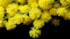 Mimosa (Luc1659) Tags: yellow mimosa macro dettagli fioritura flower giallo nero natureinfocusgroup