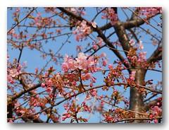 Blooming. (natureflower photography) Tags: blooming sakura pink tree garden cherry blossom japan