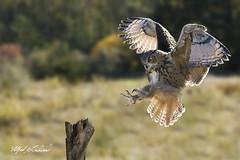 Eagle Owl_T3W2126 (Alfred J. Lockwood Photography) Tags: alfredjlockwood nature birdsinflight birdsofprey eagleowl eurasianeagleowl raptor canadianraptorconservancy canada crc ontario autumn morning