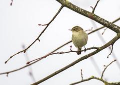 first Chiffchaff of the year (alderson.yvonne) Tags: bird spring yvonne yvonnealderson chiffchaff song
