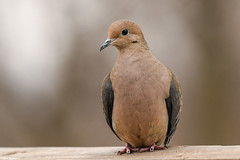 Mourning Dove - Mar-09-2019 (4-1) (JPatR) Tags: 2019 illinois march mouringdove backyard bird dove nature wildlife winter
