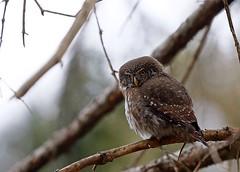 pygmy owl - civetta nana (silvano fabris) Tags: rapacinotturni uccellii natura naturephoto wildlifephotography animals birds civettanana pygmyowl