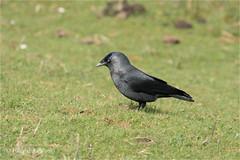 Jackdaw (Huddsbirder) Tags: huddsbirder fe70300mm sony a6500 jackdaw oldmoor