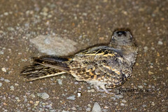 Square-tailed Nightjar, Satara, Kruger National Park, Jan 2019 (roelofvdb) Tags: 2019 409 date january knp nightjar nightjarsquaretailed place satara southernafricanbirds squaretailednightjar year