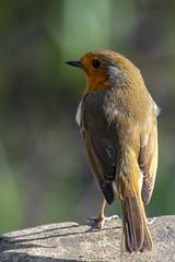 Reddish Vale Robin (COCOAJAMESON) Tags: nature outdoors animals birds squirrel reddish reddishvale canon canon7dmkii canon7d 100400mm canon100400mm photography