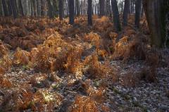Sous-bois de Sologne (Hugues Boulard) Tags: forêt bois woods forest arbre boulot fougère