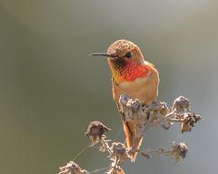 Allen's Hummingbird (Becky Matsubara) Tags: alhu allenshummingbird avian bird birds california colibrídeallen ebrpd eastbayregionalparks hummingbird nature outdoors pointpinole pointpinoleregionalshoreline ptpinole selasphorussasin wildlife ebparksok
